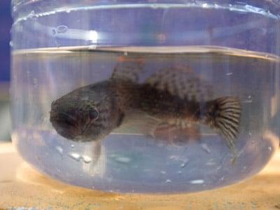Sambo fish